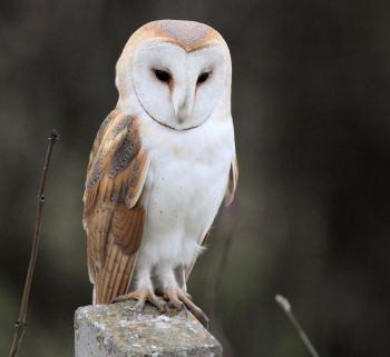 Barn Owl - Photo Neil Khandke