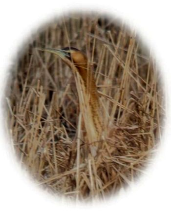 Bittern - Photo Tony Foster