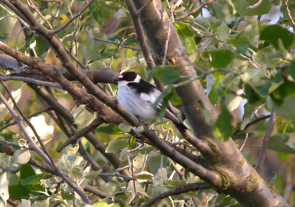 A mega - Collared Flycatcher at Holme-next-the-Sea 8th May, 2011 - Photo Lynne Demaine