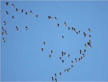 A skein of Pink Footed Geese