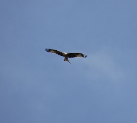Red Kite over Holme-next-the-Sea