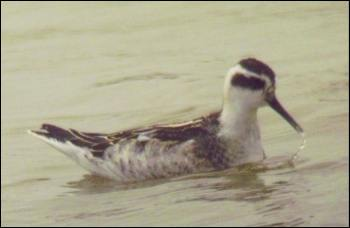 Red-necked Phalarope (juv.) Sep. 2010 - Photo Tony Foster