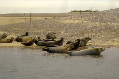 The seals at Blakeney Point - Photo Tony Foster